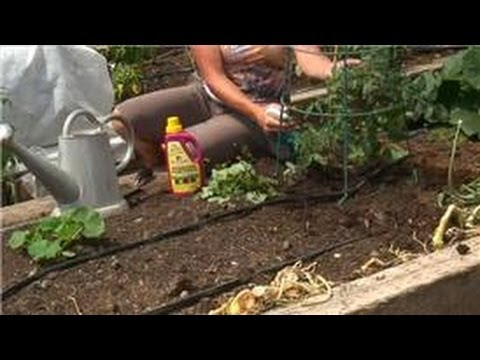 Tomato Gardening : How to Treat Fungus on Tomatoes - YouTube on