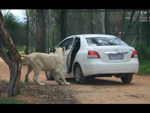 Top 5 Lion attacks car on kruger national park and Masai Mara National Reserve 2017