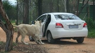 Top 5 Lion attacks car on kruger national park and Masai Mara National Reserve 2017
