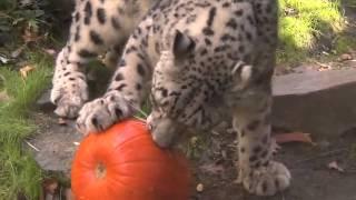 Снежный барс играет с тыквой Snow Leopard with Pumpkin Toy