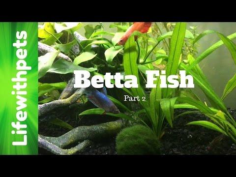 FAQ On Betta Fish Part 2