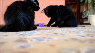 Черный котята курильского бобтейла (22 06 2015)