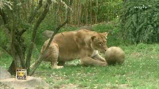 Löwin Kigali zeigt Ballgefühl