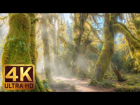 3 HRS Relaxing Piano Music - Hoh Rain Forest 4K TV Screensavers | Background Music - Part 14