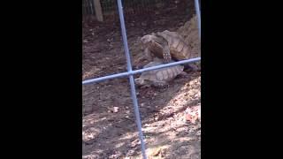 Two turtles making love