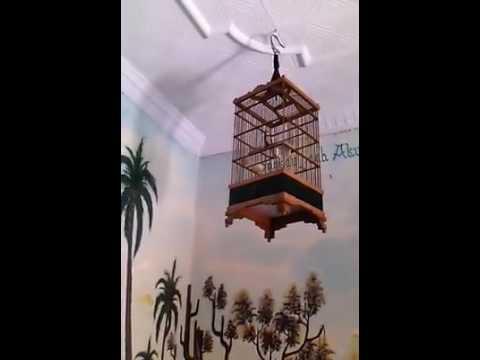 Gila...!! Burung Gelatik Wingko Super Gacor   Glatik Batu Juara Nasional