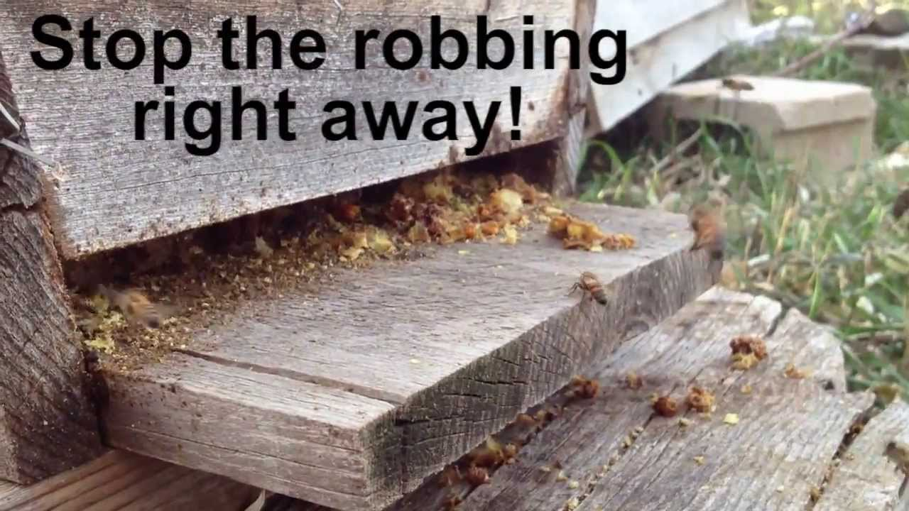 honey bees robbing a hive youtube