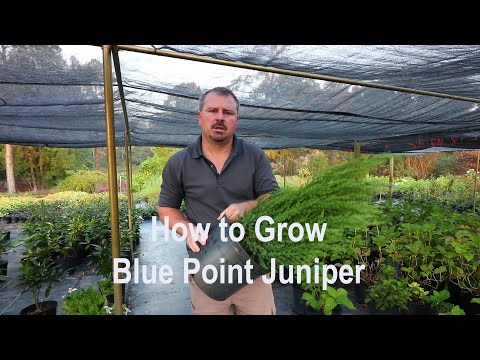 How to grow Blue Point Juniper (Christmas tree shaped Juniper) with