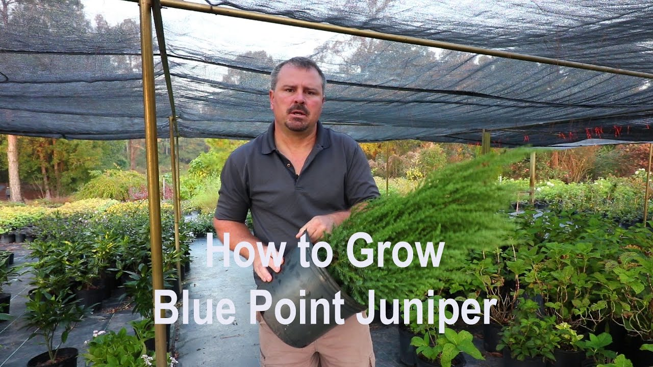 How to grow Blue Point Juniper (Christmas tree shaped Juniper) with a  detailed description