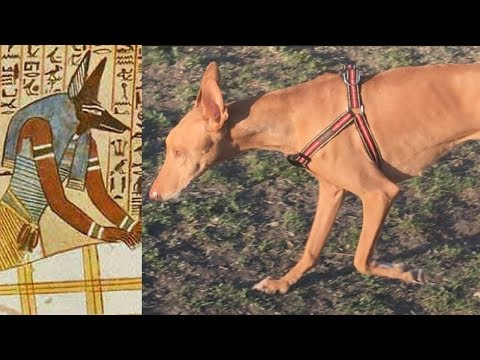 Ancient Dog Breeds: The Pharaoh Hound and The Ibizan Hound