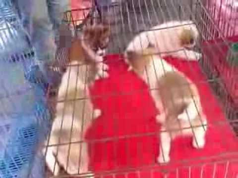 Собаки и щенки породы сибирский хаски. На доске объявлений olx казахстан легко и быстро можно купить щенка. Алматы, бостандыкский район.