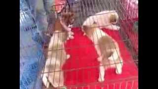 Паттайя. Рынок. Продажа собак.