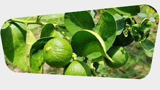 Kaffir Lime Leaves Health Benefits