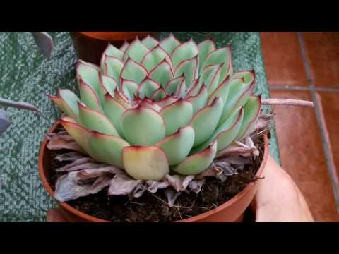 How To Remove Dead Leaves From Echeveria Succulent Plants