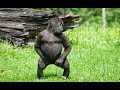 Monkey Dancing With Exciting Music! Gorilla Dance! Funniest Animals Videos 2019