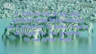 Wild Facts About Zebras