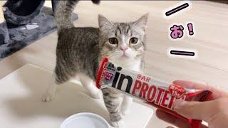 プロテインバーをチュールと勘違いしてやってきたもち猫…!笑