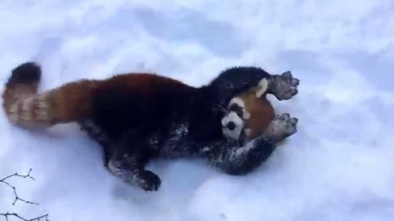 Cute Baby Live Wallpaper Red Pandas Are Having Snow Much Fun Cincinnati Zoo Youtube