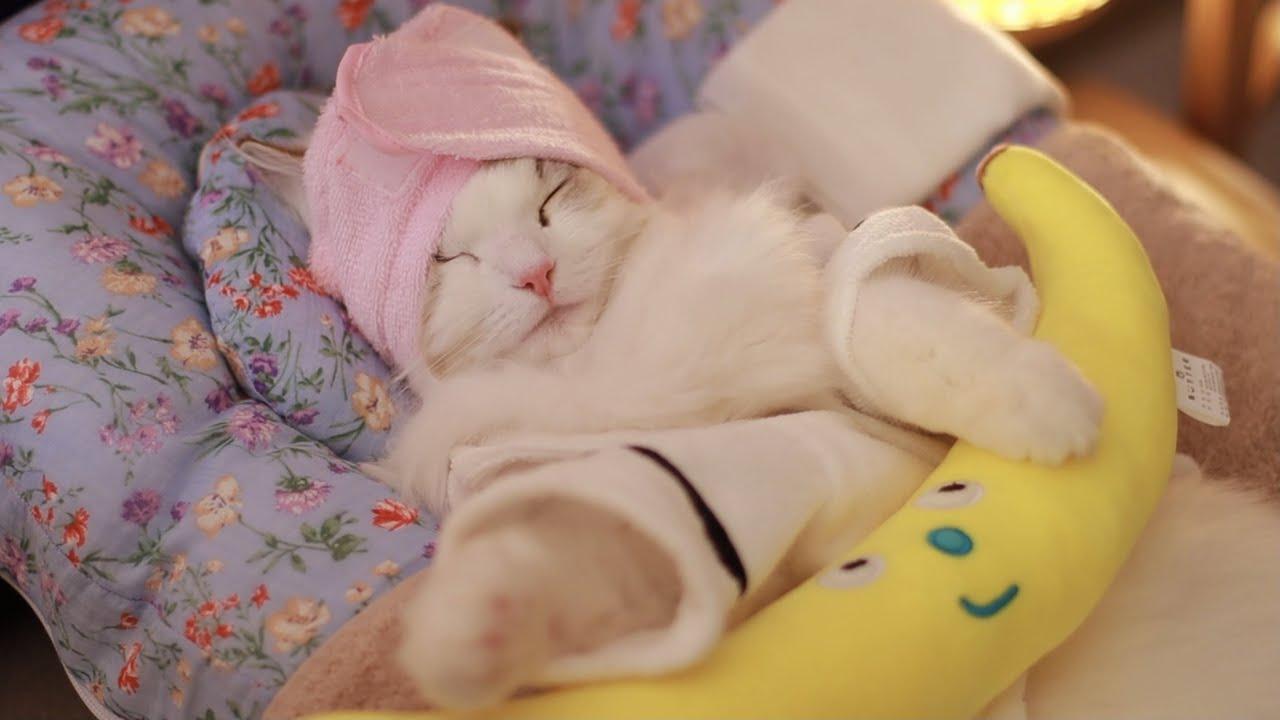 광고 촬영을 위한 풀코스 피부관리 ASMR ! 고양이 전용 에스테틱 8탄 (feat.아기고양이 성장판마사지) Ultimate Acne Care Plan | Cat Spa pt. 8 - download from YouTube for free