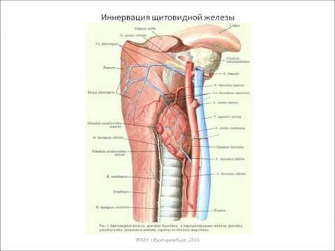 Щитовидная железа - лечение народными средствами