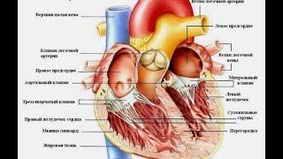 Строение и работа сердца. Урок биологии.