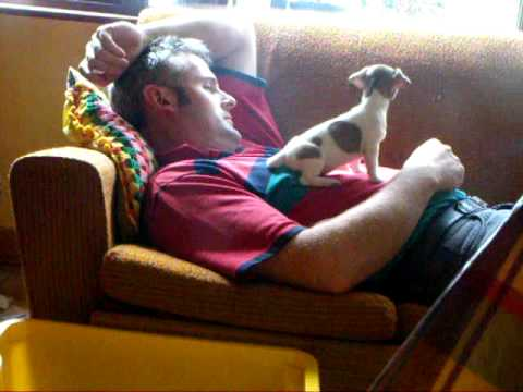 miniature-jack-russell-pup-find-another-mattress