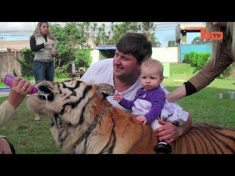 Семья из Бразилии живет с домашними тиграми