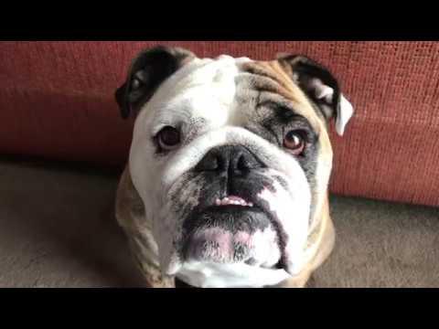 reuben-the-bulldog-who-chewed-that
