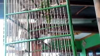 Merdunya Burung Kenari Warna Putih dengan Sangkar Sederhana