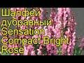Поделки - Шалфей дубравный Компакт брайт роз. Краткий обзор, описание salvia nemorosa Compact Bright Rose