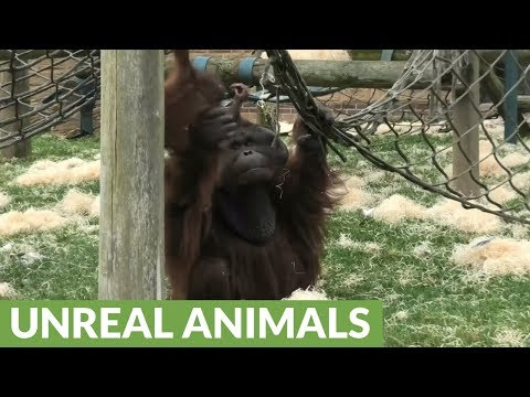 Male orangutan attempts to bite his baby's head