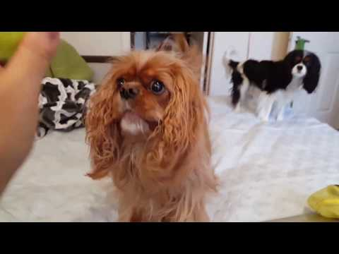 Brings me her ball to play - Cavalier King Charles Spaniel