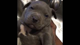 The biggest 2 week old blue XL bully Pitbull puppy ever!