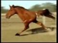 حصان متخلف يجري