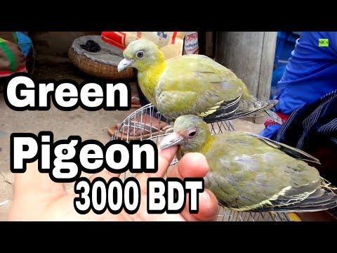 Incridible Green Pigeon