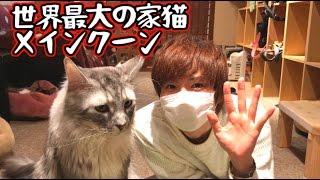 猫カフェに行ったらめっちゃでかい猫がいた!!【赤髪のとも】