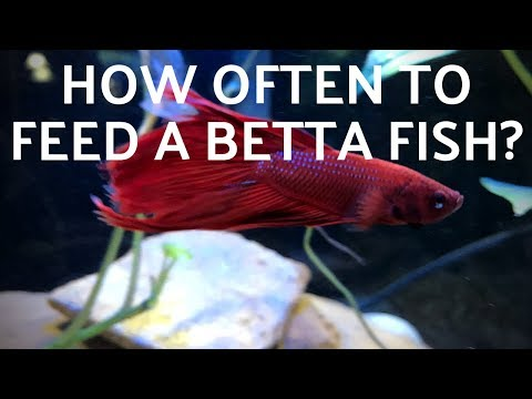 How Often To Feed A Betta Fish
