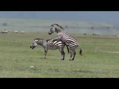 Download Zebra Mating compilation 2 Animals mating