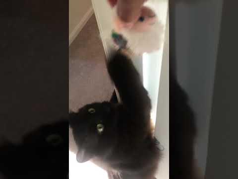 Stormi the Black Turkish Angora Cat