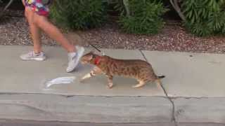 Cats Running Outside On A Leash