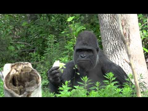 Hot Sex Gorilla from YouTube · Duration:  49 seconds