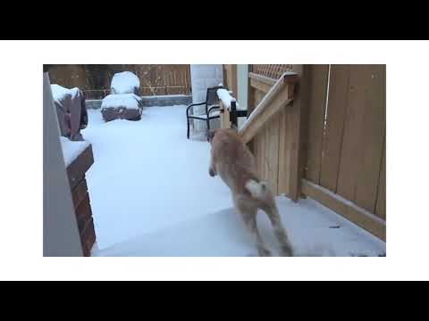 Wheaten Terrier - Loving the Snow