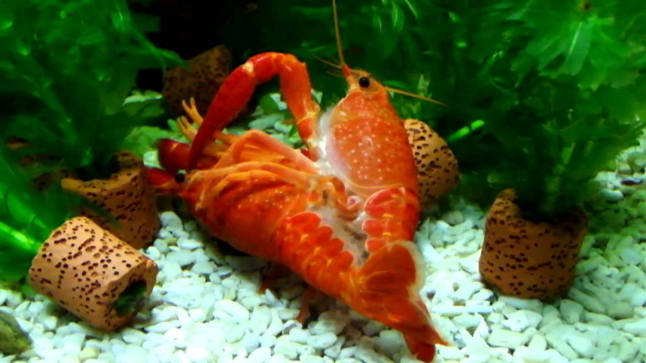 交配中的橘螯蝦 - YouTube