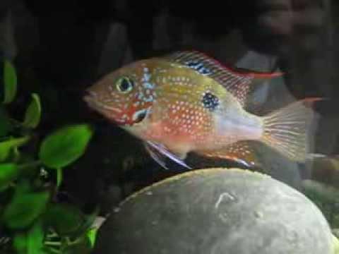 Рыба мечет икру