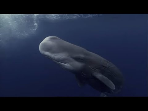Sperm Whales Dealing With The Unexpected (Wildlife Documenta