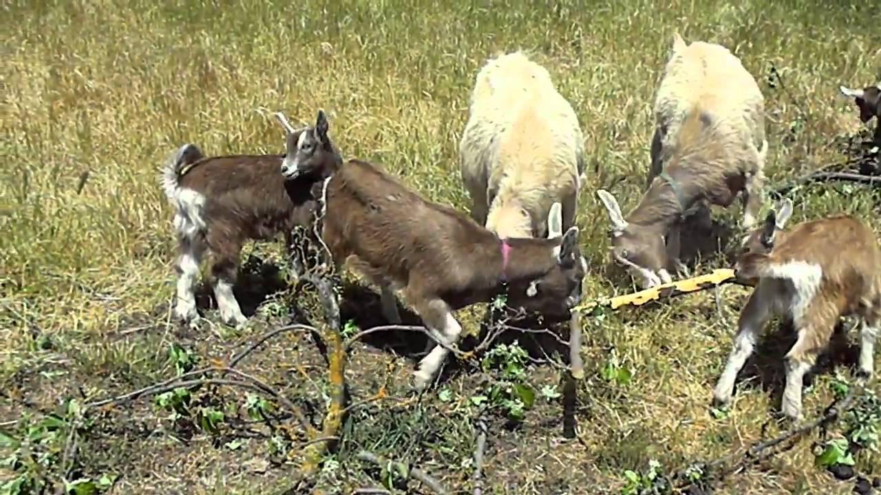 Toggenburg dairy goat herd