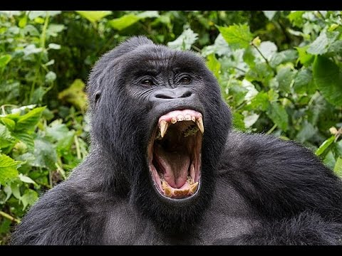 angry animal gorilla !!! - YouTube - photo#6