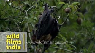 Fruit bat hanging upside down on a Chiku tree