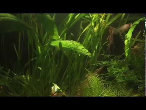 Hobihanem - Sizden Gelenler #80 (Baturalp Kipel) [Bitkili Karides Tankı] {2017 - 33. Hafta}