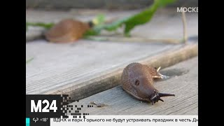 Фото Испанские слизни атаковали московские парки - Москва 24